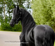 Florus - Epke 474 Sport x Norbert 444 Sport+Pref - Super nice looking stallion with great movements!!