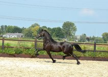 Tillie - Tsjalle 454 Sport x Fetse 349 Sport - Spectacular full papered Ster mare, bred by Rommert 498!