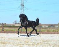 Wiegert - Alwin 469 x Norbert 444 Sport+Pref - Future sports horse!!