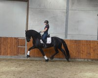 Waling - Hessel 480 Sport x Lutger 436 Sport - 3rd Round Ster stallion with 77 points in the ABFP Test!