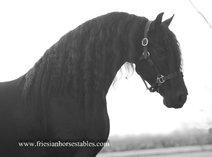Jens - Uldrik 457 x Mintse 384 Sport - 7,5 year old expressive gelding - real black beauty!
