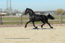 Appie - Jehannes 484 Sport x Sape 381 Sport - Future sports stallion! Halfbrother of Siert 499!!