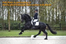 FHS Rienk - Norbert 444 Sport+Pref x Tsjalke 397 - Ster stallion who has the potential to become a Grand Prix stallion!! Participating in the Excellent Dressage Sales, first Friesian horse ever on this exclusive auction!!