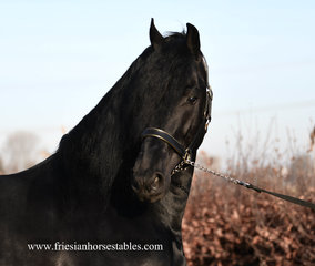 Angus is sold to Anke in Germany - Congratulations with this fairytale looking horse!