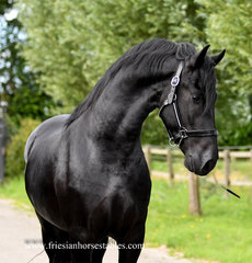Fito is sold to Natasha in the UK - Congratulations with this good mover!!