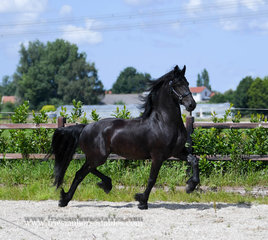Brecht - Jehannes 484 Sport x Harmen 424 Sport - Full papered mare with lots of expression!
