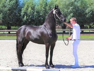 Black Beauty is sold to a very nice place in Holland - Congratulations with this pregnant Ster mare!!