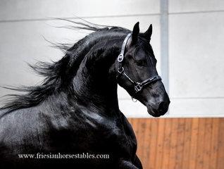 Fillipus - Tsjalle 454 Sport-Elite+Pref x Dries 421 Sport - Eye catching stallion!