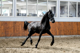 Lilie is sold to a good place in Holland - Congratulations with this good moving young mare!!