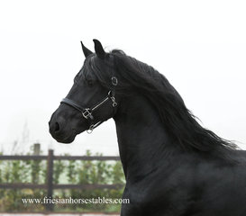 Alger is sold to Mieke in Holland - Congratulations with this sweet and handsome stallion!!
