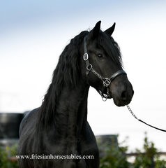 Hugo - Jehannes 484 Sport x Olrik 383 Sport - Fantastic moving stallion with lots of power!!