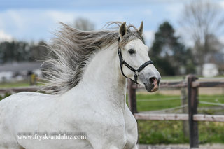 Yerno - Solea XIX x Kaiser XXXIX - Gorgeous looking and good moving PRE stallion out of the Cartujano bloodline!!