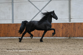 Bono is sold to Sabine in Holland - Congratulations with this Top Quality Ster stallion!!