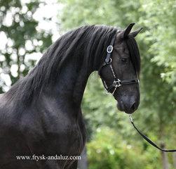 Gait - Tsjalle 454 Sport-Elite+Pref x Doaitsen 420 Sport - Stunning, luxury stallion!!