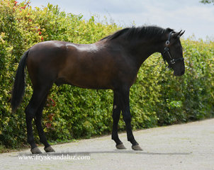 Carbonero is sold to Ilona in Holland - Congratulations with this beautiful youngster!!