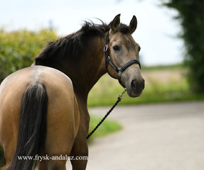 Tormentoso - 8 year old Buckskin - Great Sports horse with power and elasticity!!