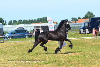 Vrouwke - Andries 415 Sport x Gradus 356 - 2nd premium Ster mare with a lot of expression and Power in her movements!!