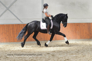 Wopke - Reinder 452 Sport x Feitse 293 Preferent - Powerful moving stallion with great attitude!
