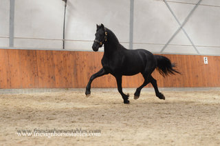Afrojack is sold to Gabi in Holland - Congratulations with this lovely stallion!!