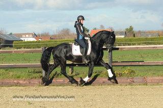Wopke - Reinder 452 Sport x Feitse 293 Preferent - Powerful moving stallion with great attitude!