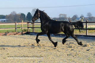 Bonne - Hessel 480 Sport x Anne 340 Sport - First premium, excellent full papered stallion!