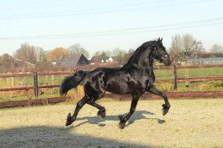 Allard - Bikkel 470 Sport x Wander 352 - Impressive looking stallion with superb movements!!