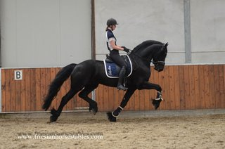 Wannahave - Haitse 425 Sport-Elite x Wierd 409 Sport - High talented Ster stallion - Great looker and superb movements!