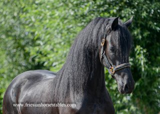 Wiekelien is sold to Miriam in Germany - Congratulations with this beautiful mare!