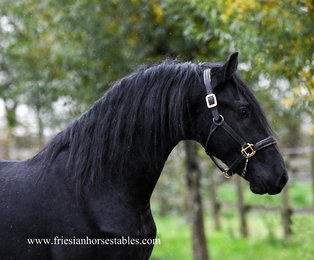 Fede is sold to Sharona in Holland - Congratulations with this black beauty!!
