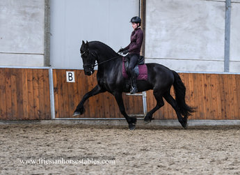 Thijs - Andries 415 Sport x Beart 411 Sport+Pref - Tall, impressive Ster gelding L1 level dressage with 8 winning points! Safe in the forest and at the beach!!