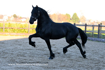 Elbert is sold to Anneke in Holland - Congratulations with this beautiful son of Epke 474!!