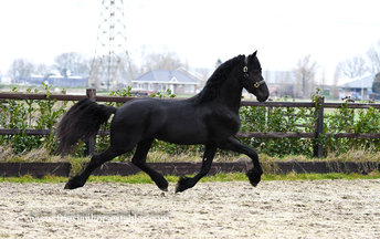 Abe - Hette 481 Sport x Liekele 364 Sport - Nice mover and long manes!