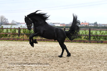 Eelke - Thorben 466 Sport-Elite x Anton 343 Sport+Pref - Stunning stallion!!