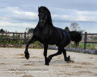 Ewout k - Omer 493 x Jasper 366 Sport+Elite+Pref - Ster stallion, first premium and CHAMPION colt of the Central Mare Keuring 2017!!!