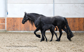 Fardou vd Olde Mette Moate - Gjalt 426 Sport x Folkert 353 Sport+Pref - 3rd Pr. full papered mare out of a KFPS Model mare - In foal by Pier 448 Sport for 2021!!
