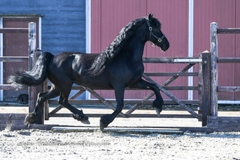 Detsje Minke - Norbert 444 Sport+Pref x Wierd 409 Sport x Oege 267 Pref - Full papered Ster mare, bred by the interesting approved stallion Wibout 511!! Related too the approved stallion Rommert 498!!