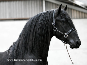 Durk - Meinte 490 Sport x Anne 340 Sport - Baroque stallion with a BIG neck and long manes!!