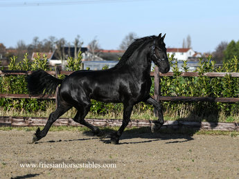 Geart - Thorben 466 Sport-Elite x Ulke 338 Sport - Promissing athletic moving stallion!!