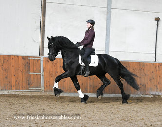 Henkie - Alwin 469 Sport x Fabe 348 Sport+Pref x Jakob 302 Sport - VERY Tall and Friendly, good moving stallion with 0.00% inbreeding!!