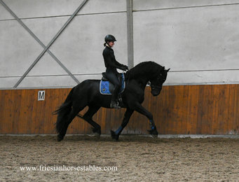 Gerke - Jehannes 484 Sport x Sape 381 Sport - Big, Bold and Beautiful black stallion!!