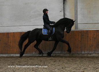 Hearre - Jehannes 484 Sport x Norbert 444 Sport+Preferent - FIRST Premium as a foal - FANTASTIC Mover!!