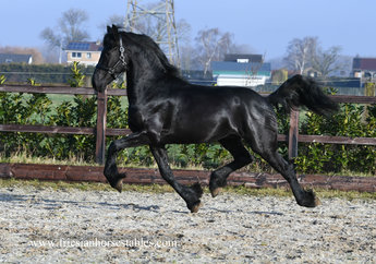 Fedde - Thorben 466 Sport-Elite x Feitse 293 Pref - Very nice horse for recreational use!!