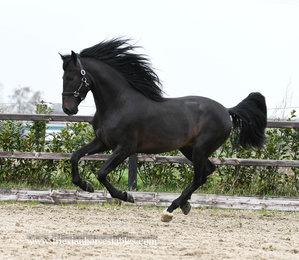 Ilustrado - Narcero x Ald Carpintero - Gorgeous darkbrown stallion with a sweet, affectionated personality!!