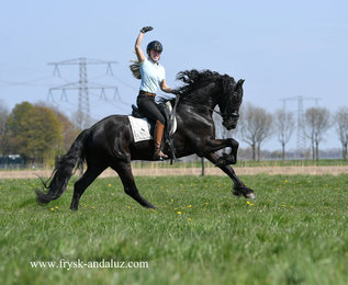 Haitse is sold to Bianca in Holland - Congratulations with this Ster gelding!!