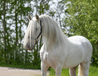 Sendero - Carbenero XXXIV x Jecido - 6 year old PRE Stallion with lots of manes!!