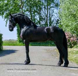 Guus is sold to Gabriele in Germany - Congratulations with this special Ster stallion!!