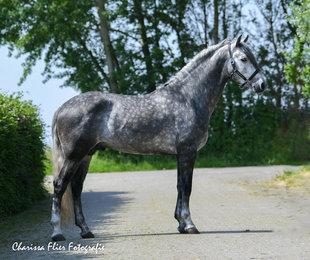 Oslo - Manzanillo LVIII x Ebanisto III - Real eye catching PRE stallion with great movements!!