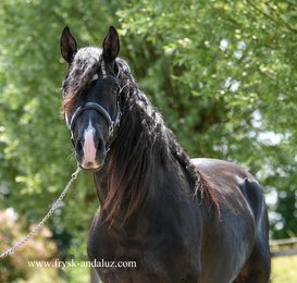 Buendia is sold to a good place in Belgium - Congratulations with this magnificent horse!!