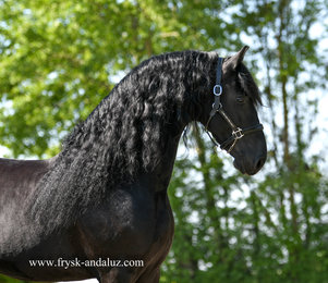Bono is sold to Sabine in Holland - Congratulations with this Top Quality Ster stallion!