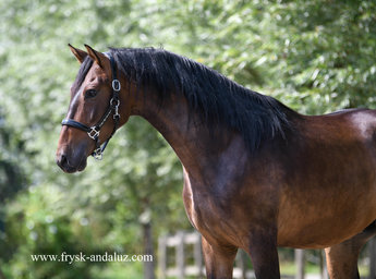 Pregonero - Very smooth moving Andalusian gelding!!